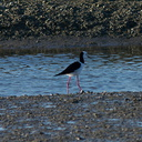 pied-stilts-Miranda-Shorebirds-Reserve-02-07-2011-IMG 2680