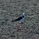 pied-stilts-Miranda-Shorebirds-Reserve-02-07-2011-IMG 2708