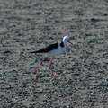 pied-stilts-Miranda-Shorebirds-Reserve-02-07-2011-IMG 2709