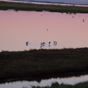 pied-stilts-at-sunset-Miranda-Shorebird-Reserve-01-07-2011-IMG 9054