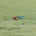rosella-parrots-at-campsite-West-End-Track-Tawharenui-2013-07-06-IMG 9019