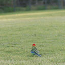 rosella-parrots-at-campsite-West-End-Track-Tawharenui-2013-07-06-IMG 9020