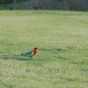 rosella-parrots-at-campsite-West-End-Track-Tawharenui-2013-07-06-IMG 9022