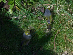 silvereye-birds-Rangitoto-summit-26-07-2011-IMG 3225