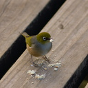 silvereye-birds-Rangitoto-summit-26-07-2011-IMG 3248