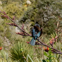 tui-on-New-Zealand-flax-flowers-Tiritiri-Track-Shakespear-Regional-Park-2015-11-13-IMG 2578