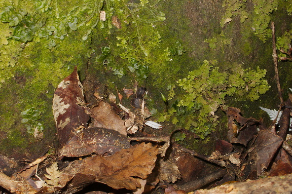 Buxbaumia-novae-zelandiae-habitat-on-volcanic-rock-Tarawera-Outlet-to-Humphries-Bay-Track-2015-10-17-IMG 5935