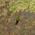 Buxbaumia-novae-zelandiae-on-volcanic-rock-Tarawera-Outlet-to-Humphries-Bay-Track-2015-10-17-IMG 2094