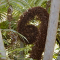 Cyathea-tree-fern-frond-unfurling-cliff-walk-Whakatane-2015-10-20-IMG 5944