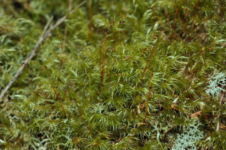 Dicranoloma-robustum-moss-single-sporophyte-at-branch-apex--Tarawera-Outlet-to-Humphries-Bay-Track-2015-10-17-IMG_2033.jpg