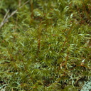 Dicranoloma-robustum-moss-single-sporophyte-at-branch-apex--Tarawera-Outlet-to-Humphries-Bay-Track-2015-10-17-IMG 2033