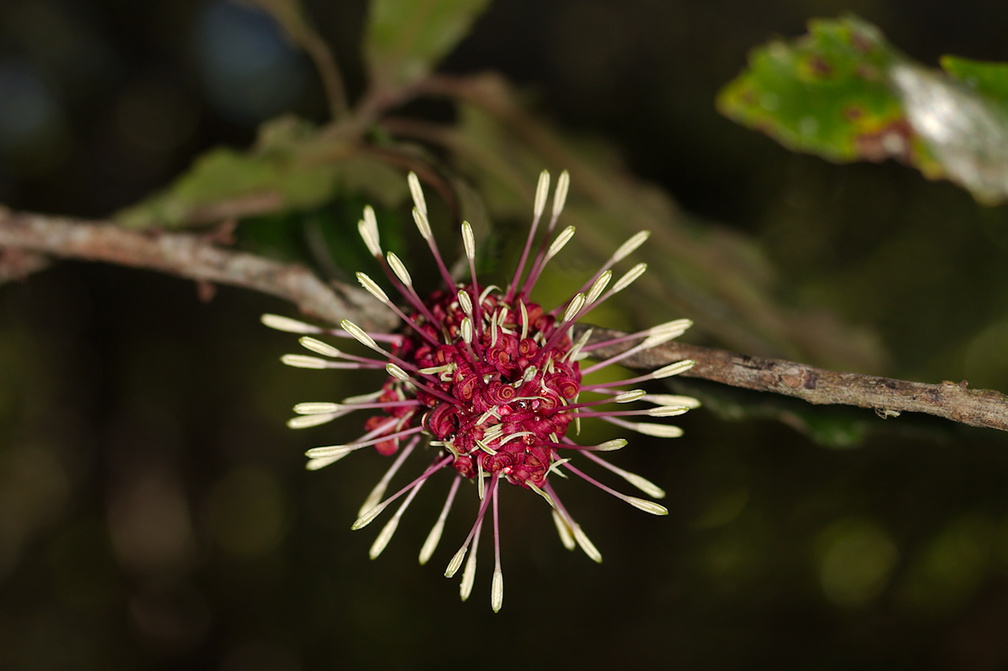 Knightia-excelsa-rewarewa-flowers-Tarawera-Outlet-to-Humphries-Bay-Track-2015-10-17-IMG 2025