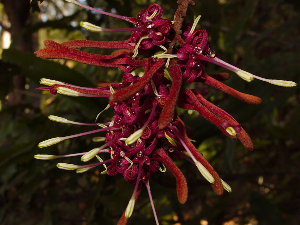 Knightia-excelsa-rewarewa-flowers-Tarawera-Outlet-to-Humphries-Bay-Track-2015-10-17-IMG 5883