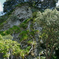 Metrosideros-roots-reaching-down-the-cliff-Whakatane-2015-10-20-IMG 5942