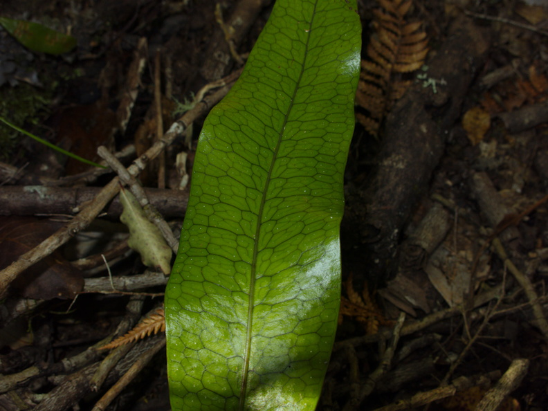 Microsorum-pustulatum-fern-entire-fronds-reticulate-net-venation-Tarawera-to-Waterfall-Track-2015-10-16-IMG_5805.jpg