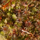 Polytrichum-juniperinum-haircap-moss-reddish-moss-Tarawera-Outlet-to-Humphries-Bay-Track-2015-10-17-IMG 2036