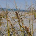 dune-holding-rushes-on-beach-Whakatane-2015-10-20-IMG 5991