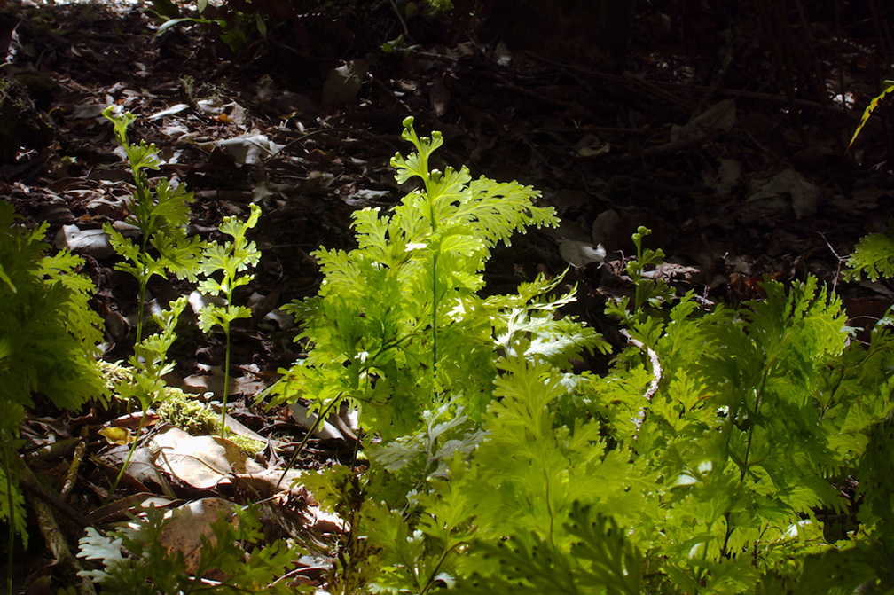 filmy-fern-on-forest-floor-Tarawera-to-Waterfall-Track-2015-10-16-IMG 5793