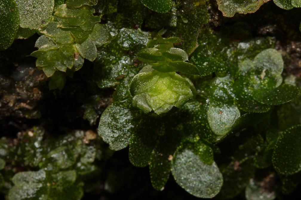 indet-Jungermannia-sp-foliose-liverwort-Tarawera-Outlet-to-Humphries-Bay-Track-2015-10-17-IMG 2045