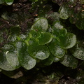 indet-Jungermannia-sp-foliose-liverwort-Tarawera-Outlet-to-Humphries-Bay-Track-2015-10-17-IMG 2046