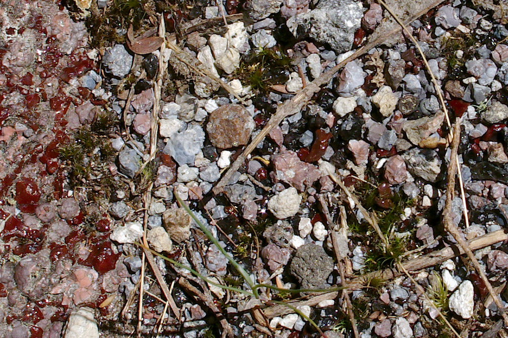 volcanic-glass-obsidian-pebbles-and-rocks-Tarawera-to-Waterfall-Track-2015-10-16-IMG 5854