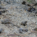 fur-seals-on-rocks-Rte1-2013-06-03-IMG 1110