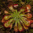 Drosera-sp-sundew-on-forest-track-Denniston-2013-06-12-IMG 8105