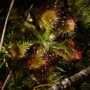Drosera-sp-sundews-on-forest-track-Denniston-2013-06-12-IMG 1332