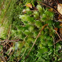 Leucobryum-sp-moss-on-forest-track-Denniston-2013-06-12-IMG 1348