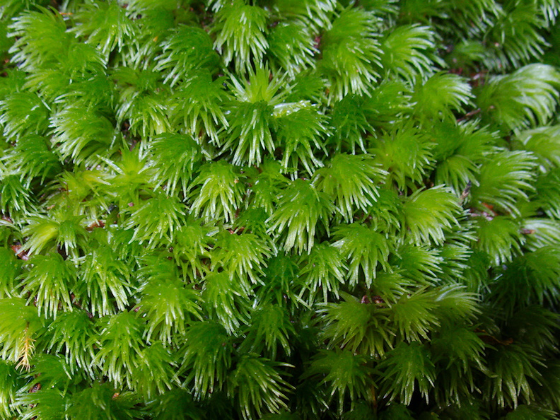 Leucobryum-sp-moss-on-forest-track-Denniston-2013-06-12-IMG 1349