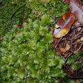 Leucobryum-sp-moss-on-forest-track-Denniston-2013-06-12-IMG 1351