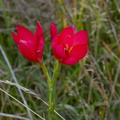 red-iridaceous-flower-road-to-Denniston-2013-06-12-IMG 1297
