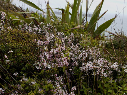 Leptospermum-sp-pink-flowering-Cape-Reinga-2015-09-09-IMG 5387