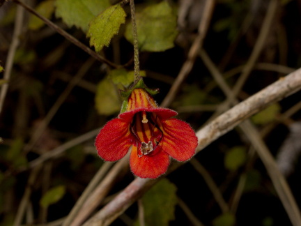 Rhabdothamnus-solandri-New-Zealand-gloxinia-red-flowers-Kauri-Grove-trail-Kaitaia-2015-09-15-IMG 5414
