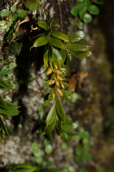 Tmesipteris-with-pollen-bearing-structures-Kauri-Grove-trail-Kaitaia-2015-09-15-IMG_1285.jpg