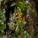 Tmesipteris-with-pollen-bearing-structures-Kauri-Grove-trail-Kaitaia-2015-09-15-IMG 1285