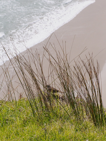 bird-with-white-eyebrow-amid-rushes-path-to-lighthouse-Cape-Reinga-2015-09-08-IMG_5401.jpg