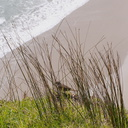 bird-with-white-eyebrow-amid-rushes-path-to-lighthouse-Cape-Reinga-2015-09-08-IMG 5401