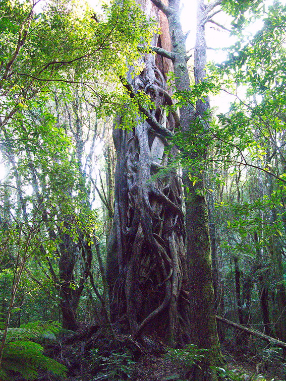 huge-vines-on-huge-trunk-Loop-Trail-Kiriwhakapapa-16-06-2011-IMG 8576