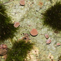 lichen-and-pink-cup-fungus-ascomycete-River-Access-Trail-Bucks-Rd-17-06-2011-IMG 2465