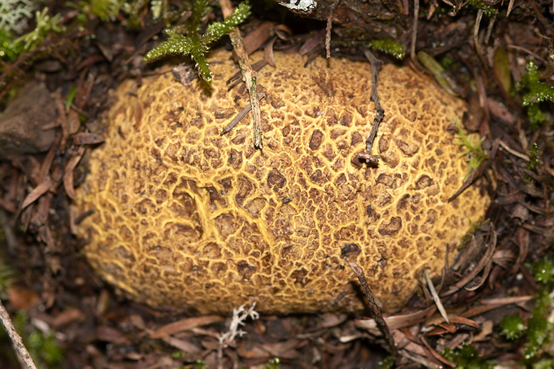 puffball-fungus-yellow-reticulate-River-Access-Trail-Bucks-Rd-17-06-2011-IMG_2485.jpg
