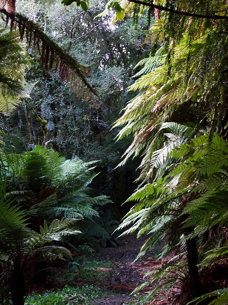 tree-fern-forest-along-trail-Kiriwhakapappa-15-06-2011-IMG 8569