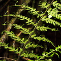Asplenium-bulbiferum-hen-and-chickens-fern-White-Pine-Reserve-10-06-2011-IMG 8409