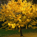 Ginkgo-fall-color-Napier-Botanical-Garden-12-06-2011-IMG 2351
