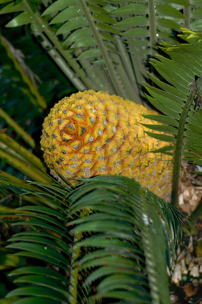 cycad-with-huge-yellow-cones-Napier-Botanical-Garden-12-06-2011-IMG 2362