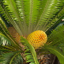 cycad-with-huge-yellow-cones-Napier-Botanical-Garden-12-06-2011-IMG 8457