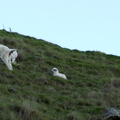 goats-and-kid-Glenduan-Track-2013-06-07-IMG 1177