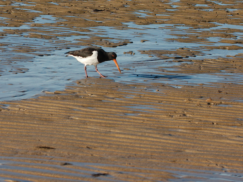oystercatcher-Marahau-Beach-at-low-tide-2013-06-06-IMG_7946.jpg