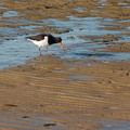 oystercatcher-Marahau-Beach-at-low-tide-2013-06-06-IMG 7946