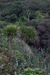 coastal-community-Cordyline-Tasman-Lookout-Piha-21-07-2011-IMG 3115